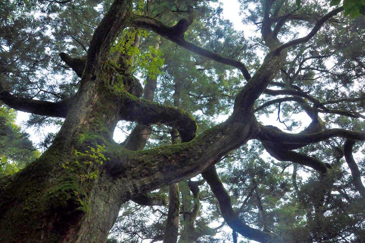 推定樹齢800年のパワースポット「紫峰杉」