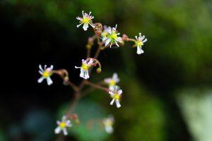 筑波山の固有種「ホシザキユキノシタ」